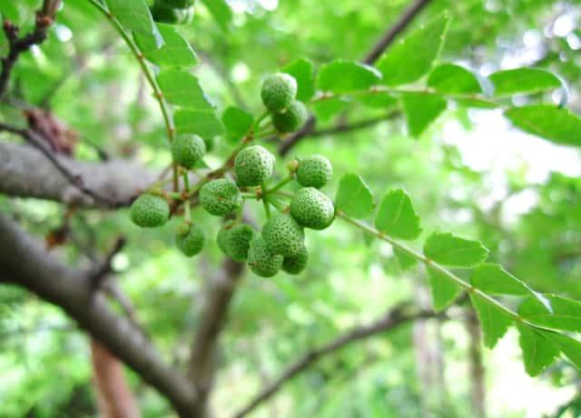 山椒の木に、山椒の緑の実がなる