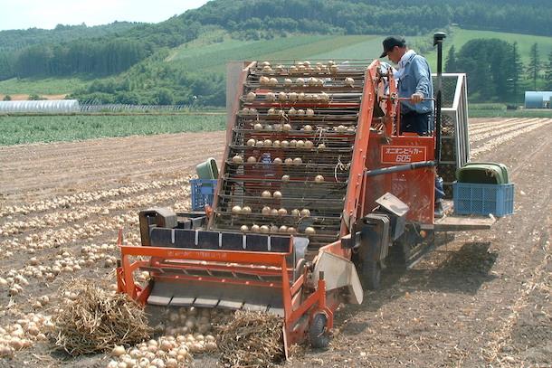 タマネギ、収穫