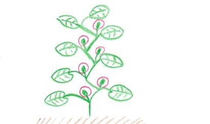 脇芽のイラスト