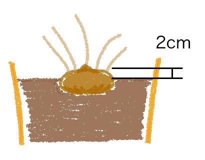 シクラメンの球根図