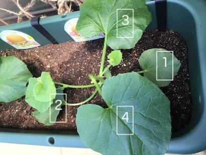 ベランダ菜園、プランター栽培、家庭菜園、メロン、サカタのタネ、グリーンカーテン