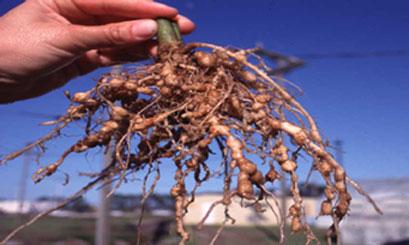 ネコブセンチュウにおかされた作物の根
