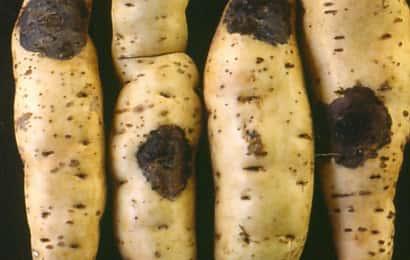 サツマイモ黒斑病
