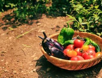 畑で夏野菜の収穫