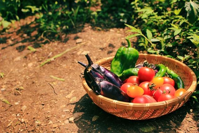 収穫したトマト、ナス、ピーマンなど