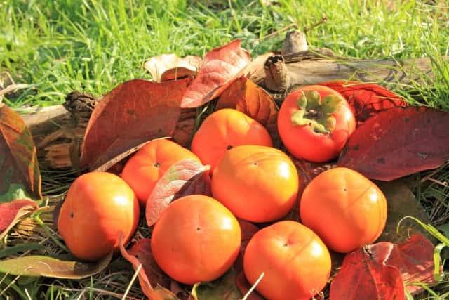 芝生と落ち葉の上に収穫した柿を乗せる
