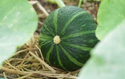 ワラの上のかぼちゃ