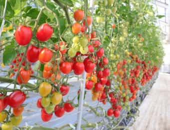 ハウス栽培、栽培培地