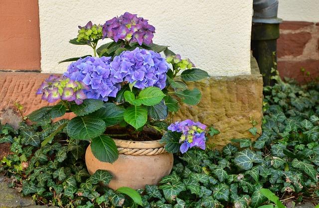 の 紫陽花 の 方法 挿し木