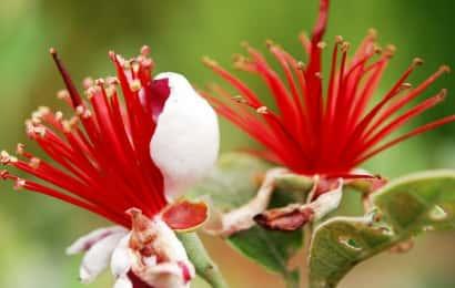 花の部分が枯れて、おしべの赤色が際立つフェイジョアの花