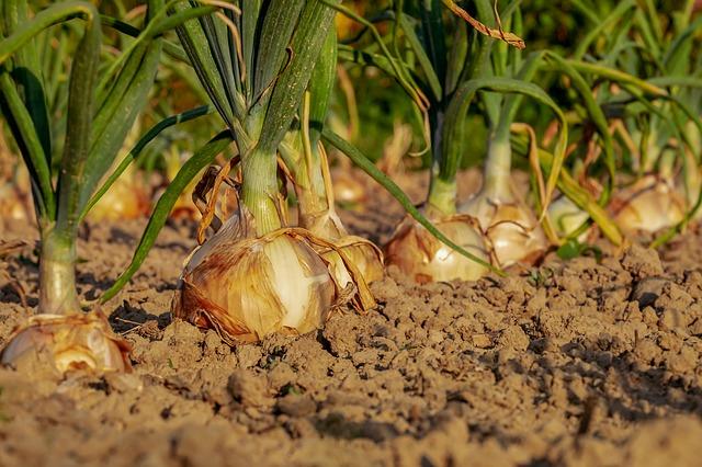 タマネギ、栽培