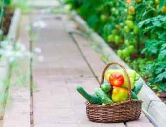 きゅうり、ピーマンなどを収穫する