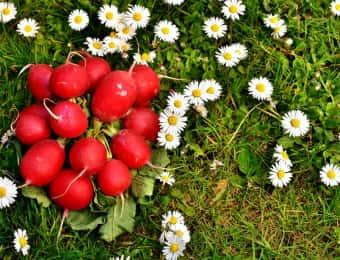赤カブと春の花