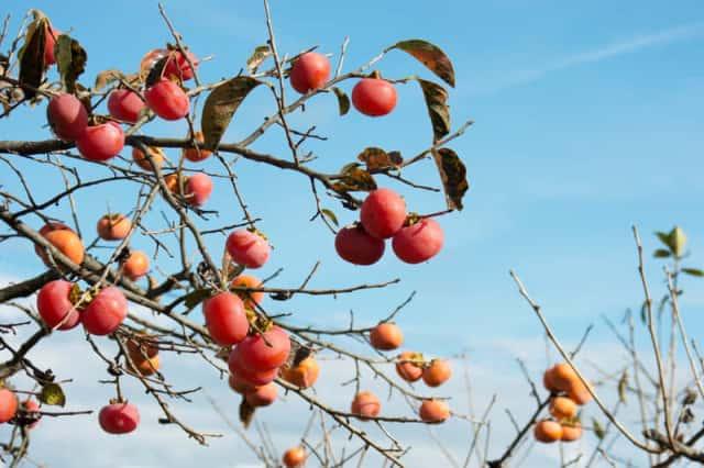 青空の元、木の上で熟れたたくさんの柿