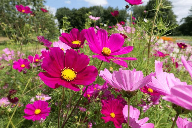 コスモスの花、濃紅色、薄紅色、コスモス畑