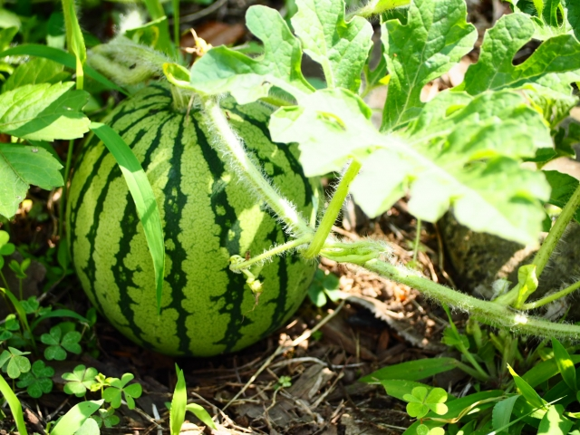 スイカ、栽培、育て方