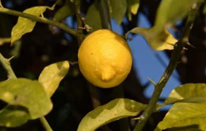 レモンとレモンのとげ