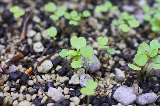 ルッコラの芽が生えてくる