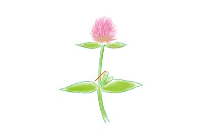 センニチコウ 花がら摘み
