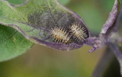 ニジュウヤホシテントウ 幼虫