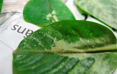 タバココナジラミ、葉の被害