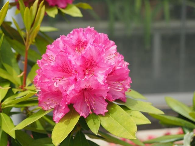 大輪を咲かせるシャクナゲの花