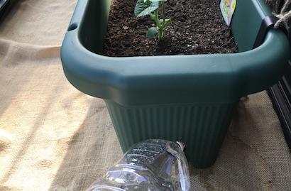 ころたん、育た方、栽培、水やり