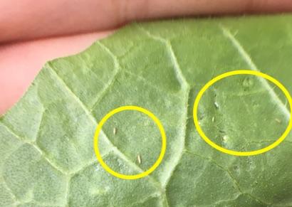 ころたん、栽培、育て方、病害虫、コナジラミ類