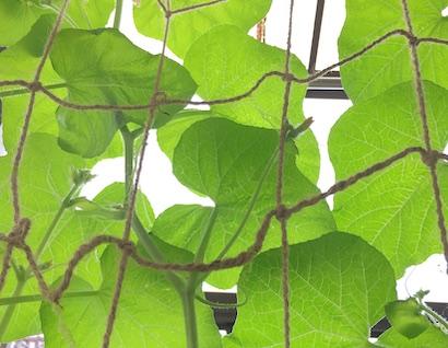 ころたん、栽培、育て方、グリーンカーテン