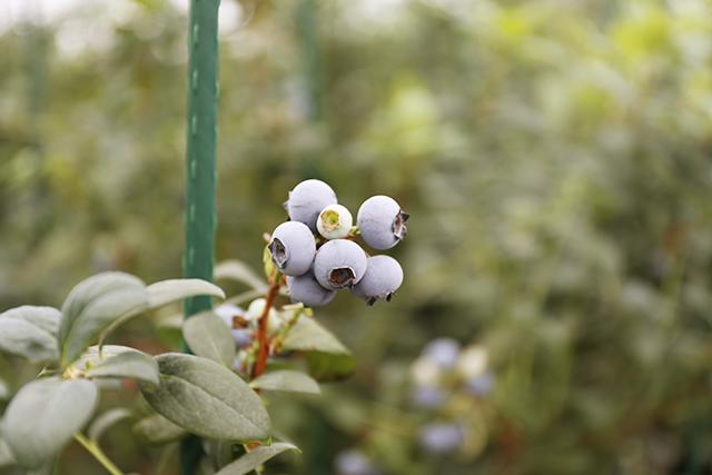 木に実るブルーベリー