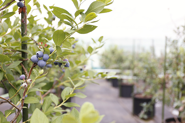 木に成るブルーベリー