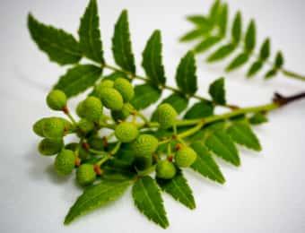 山椒の葉と山椒の実が付いた枝