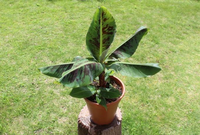 鉢植えのバナナ