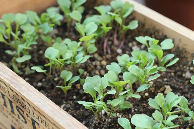 ルッコラのプランター栽培