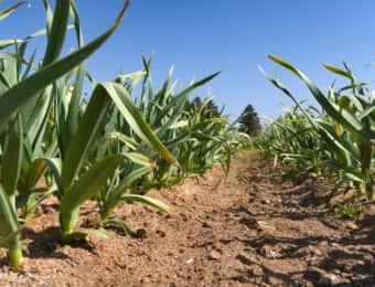 ニンニク、栽培、育て方