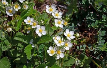 ワイルドストロベリーの花と葉が土の上に生える