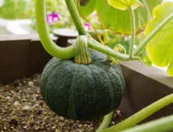 プランターのかぼちゃ栽培