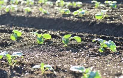 苗が植わっている様子