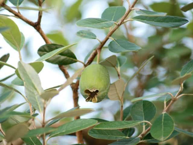 フェイジョアの木にグリーンの実がなる