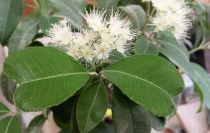 レモンマートルの花と葉