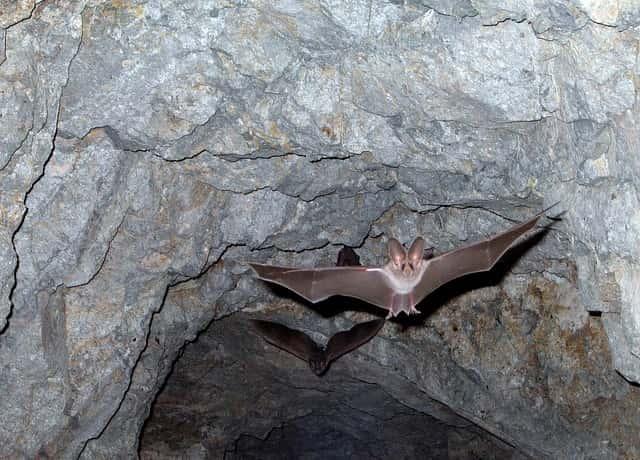 コウモリが洞窟から飛び立つ