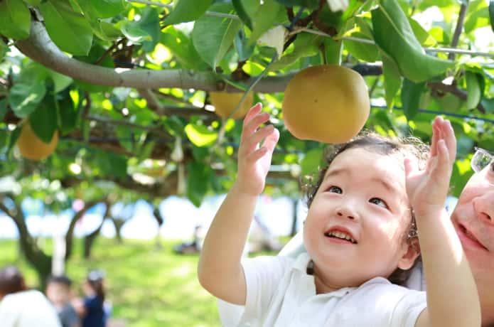 梨狩りをする子ども
