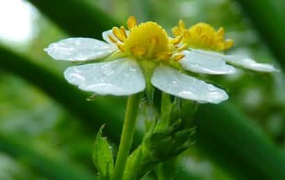 雨に濡れたワイルドストロベリーの花