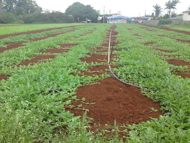 スイカ、畑、圃場、露地栽培