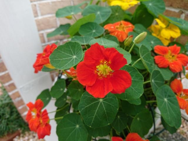 花壇に咲くナスタチウム