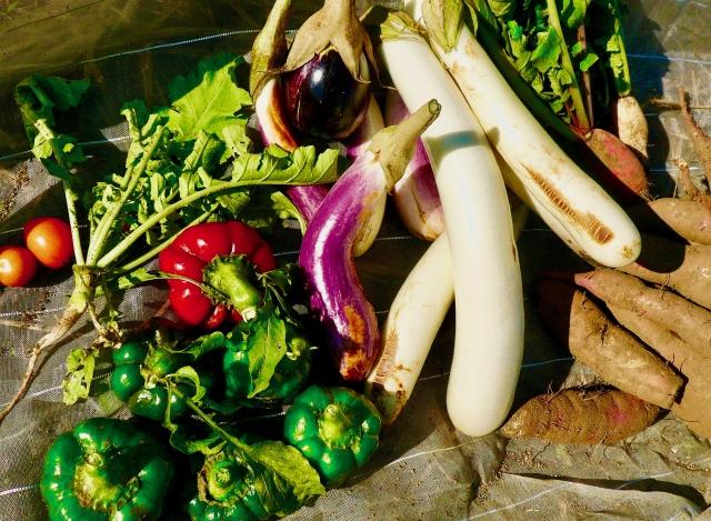 収穫された野菜