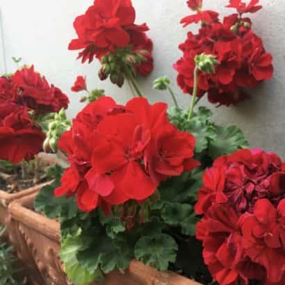 ゼラニウム、花がら摘み