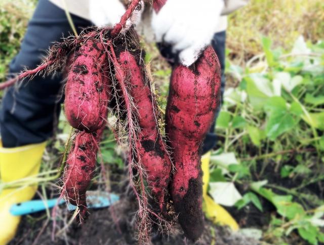 サツマイモを収穫する手
