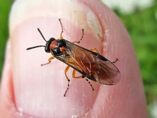 カブラハバチの成虫