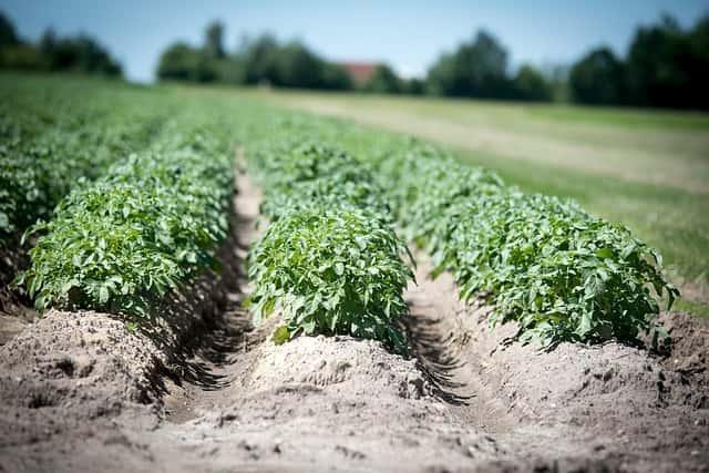 畑に野菜が元気に育つ